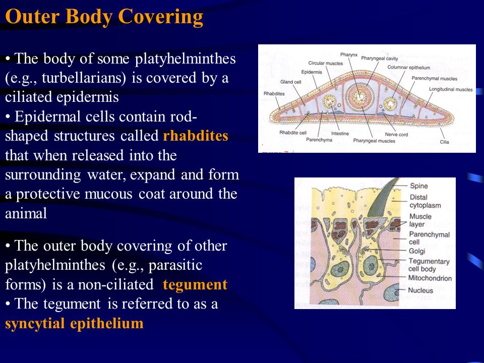 platyhelminthes tegument sincitial a kerekféreg hatékony gyógyszer