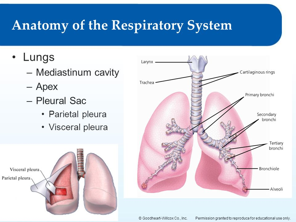 voyage to the lungs and out Chapter 5 - breathing the respiratory system  breathing is the movement of air into and out of the lungs - we normally breathe 10-15 times per minute.