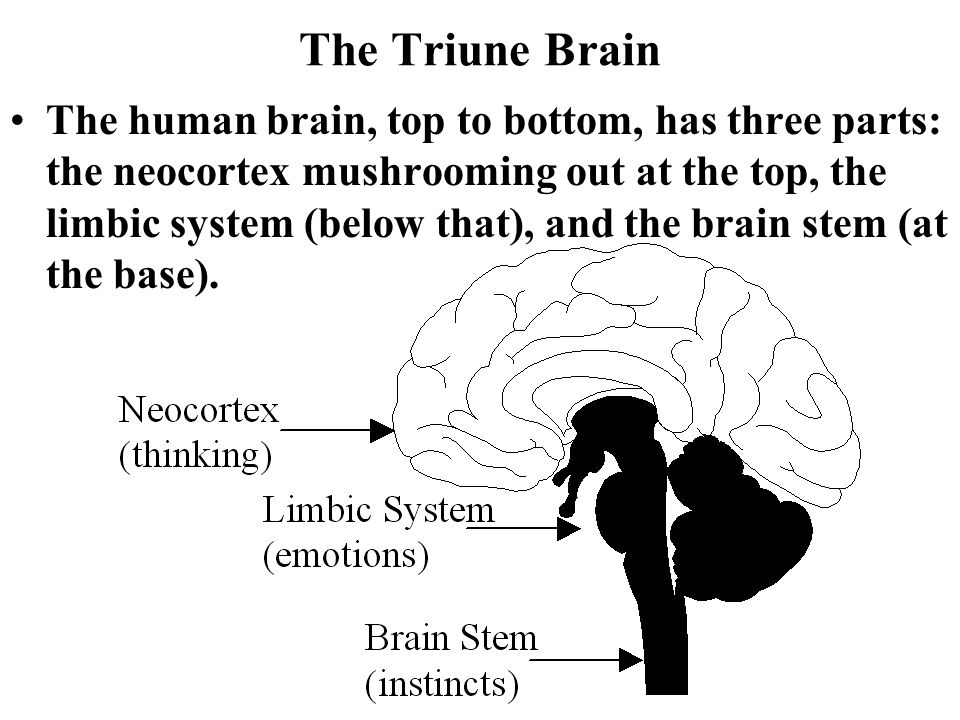 Human Brain Structure And Function Ppt