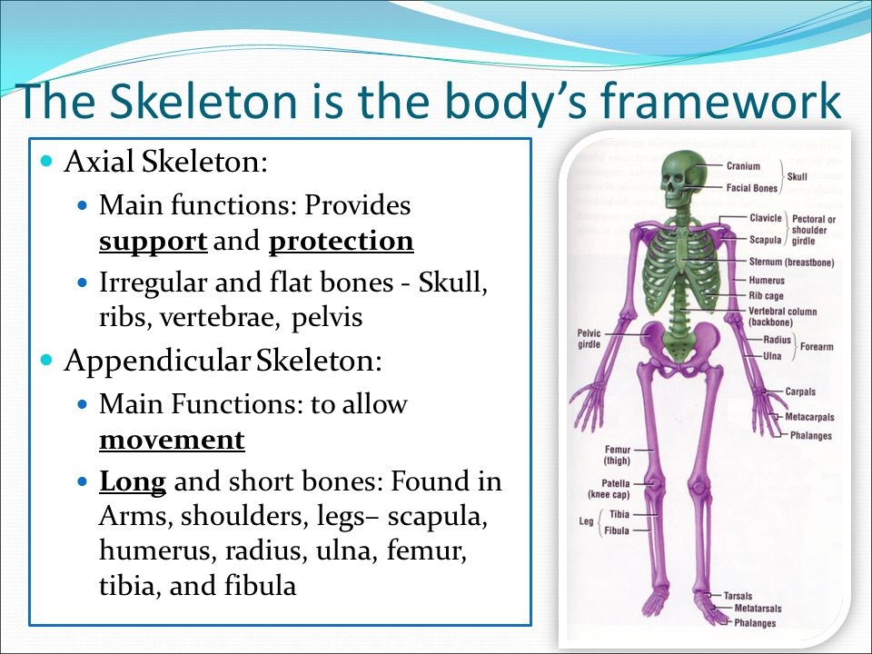 what is the major function of the axial skeleton