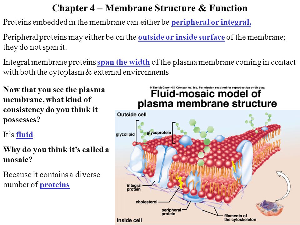 4 functions of plasma membrane