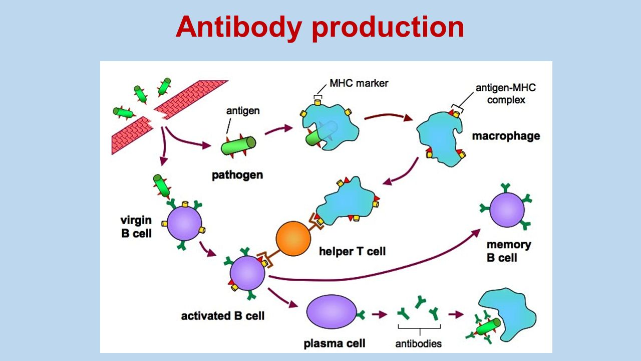 How are cells that can produce antibodies. Where antibodies are produced