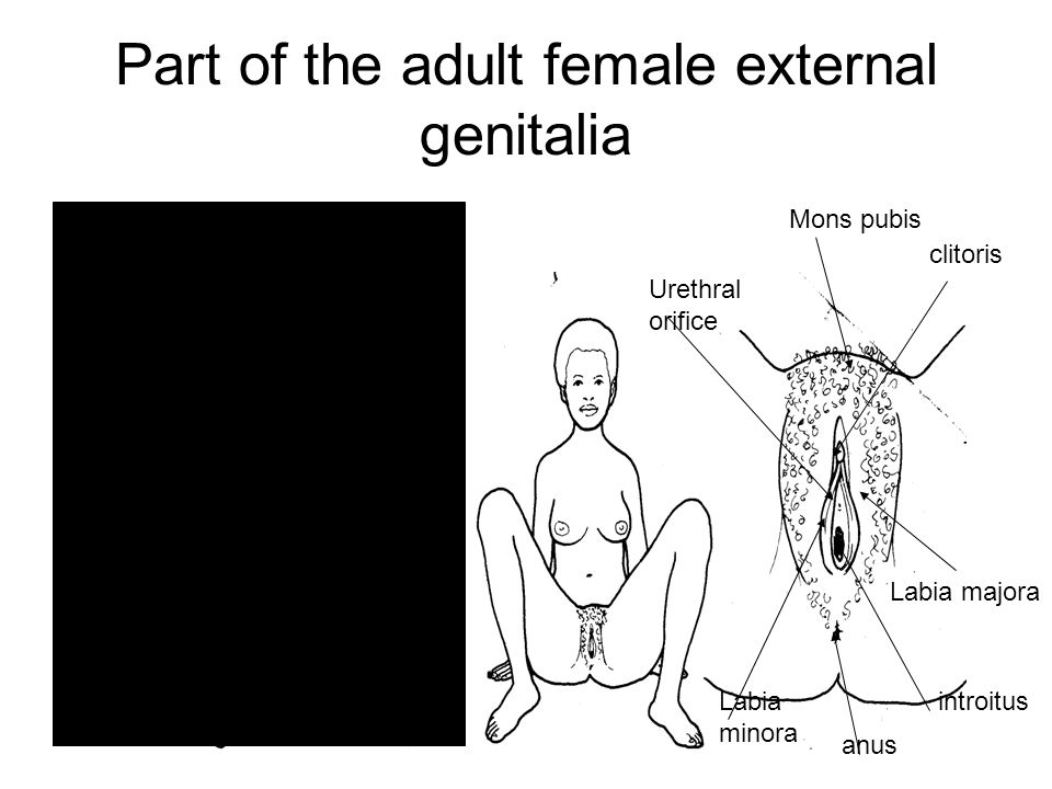 Anatomy Of The Female Perineum And Perineal Pouches Ppt Video