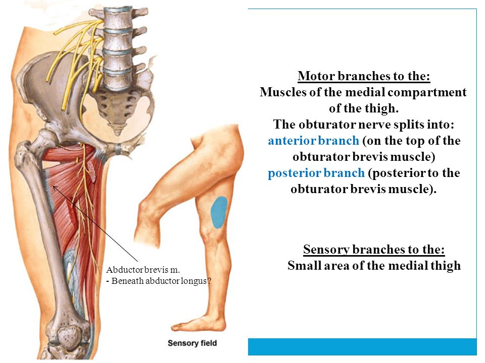 Lower Limb, part I - Where the medial thigh muscles connect on the ...