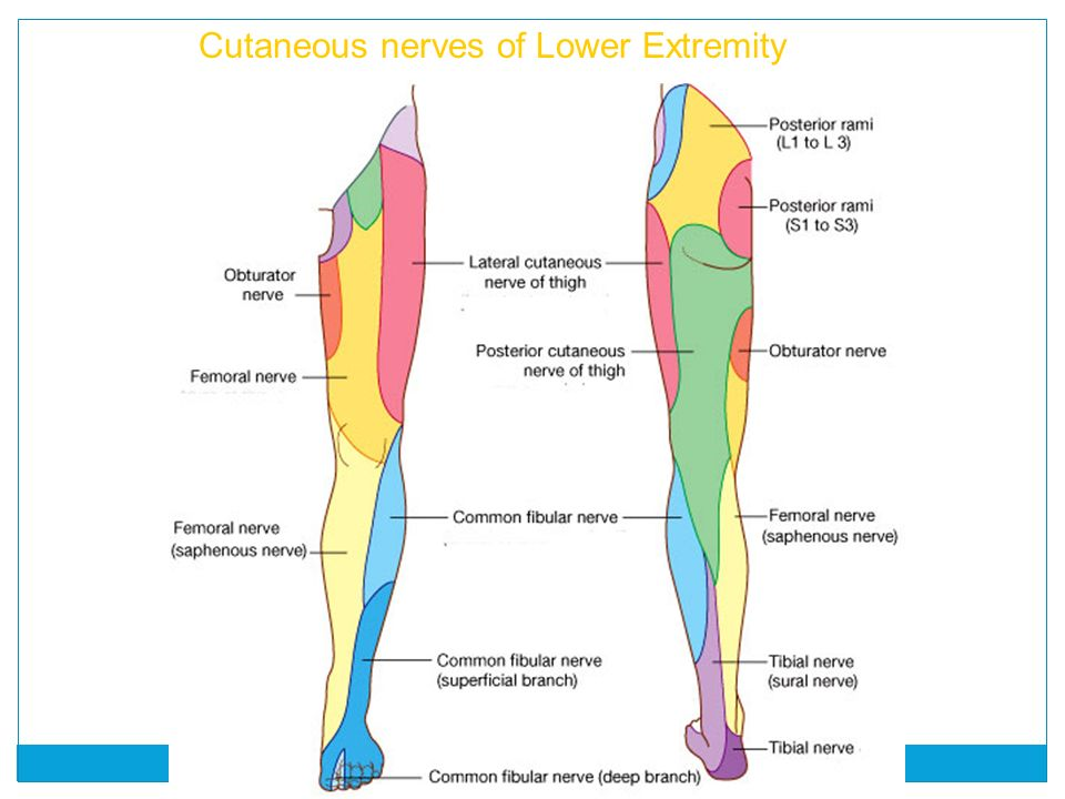 Awesome Nerves Of Lower Leg Ensign Human Anatomy Images