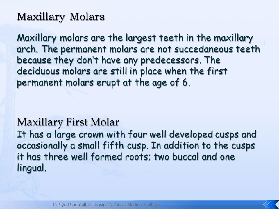 Maxillary Molars Ppt Video Online Download
