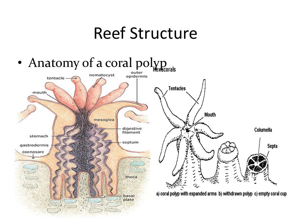 Phylum Cnidaria Ppt Video Online Download