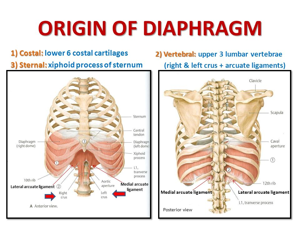 ORIGIN OF DIAPHRAGM 1) Costal: lower 6 costal cartilages