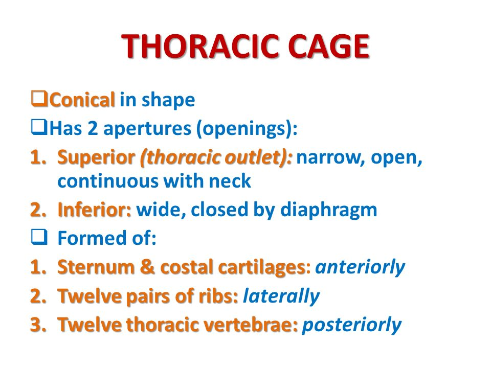 THORACIC CAGE Conical in shape Has 2 apertures (openings):