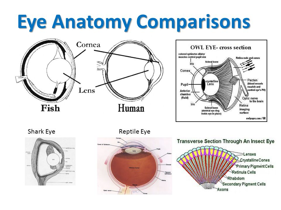 The Eye Ppt Video Online Download