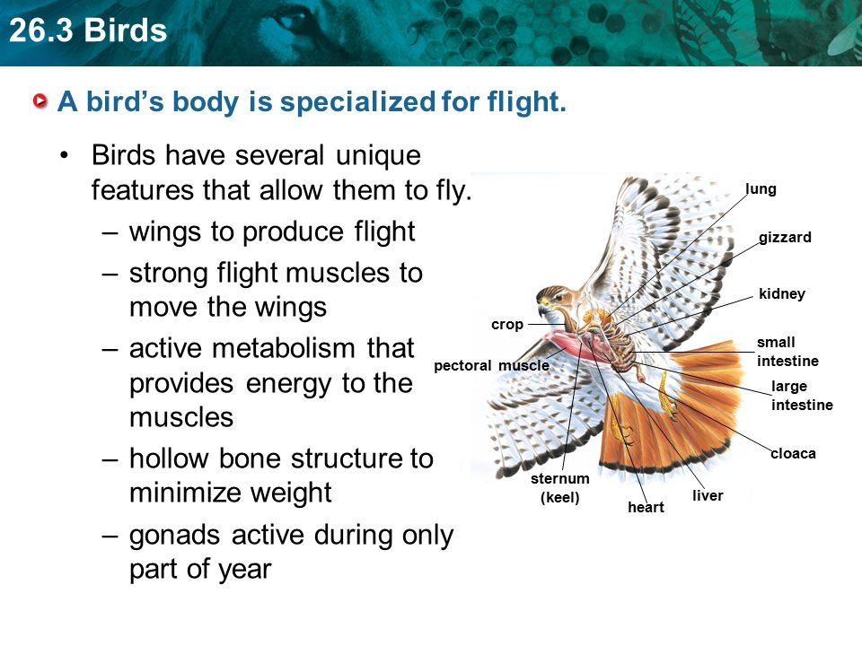 KEY CONCEPT Birds have many adaptations for flight. - ppt video ...