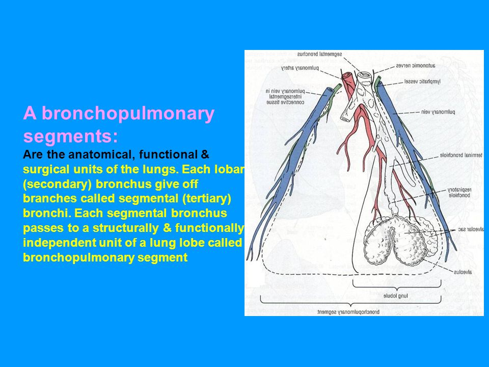 Broncho-Pulmonary Segment - ppt video online download