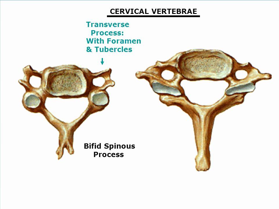 Vertebral Column Spinal Cord Nerves George Salter Ph Ppt Video