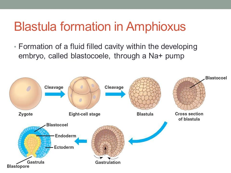 cleavage blastula gastrula neurula ppt download