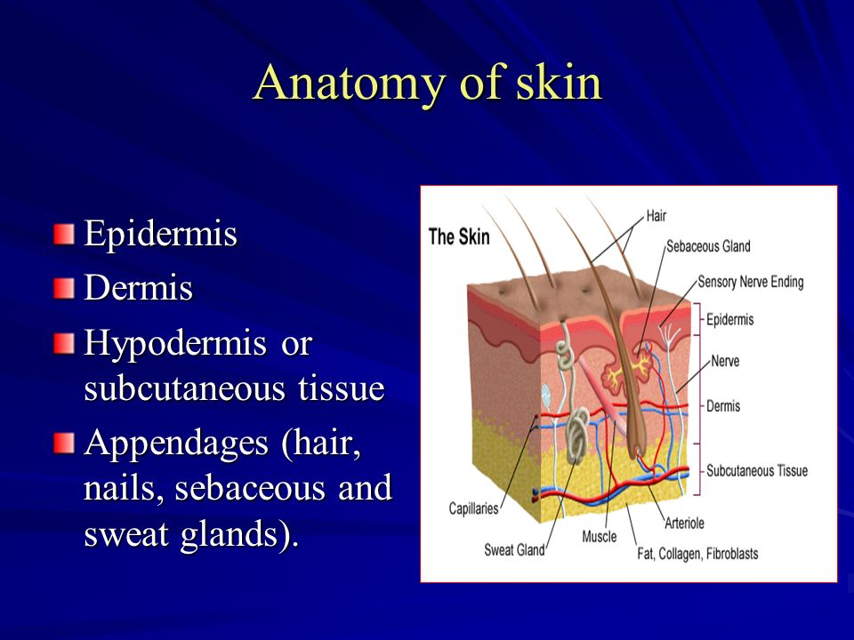 Anatomy, histology, physiology of the skin - ppt video online download