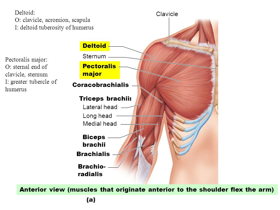 The Muscular System Revised By Dr Par Mohammadian Ppt Video