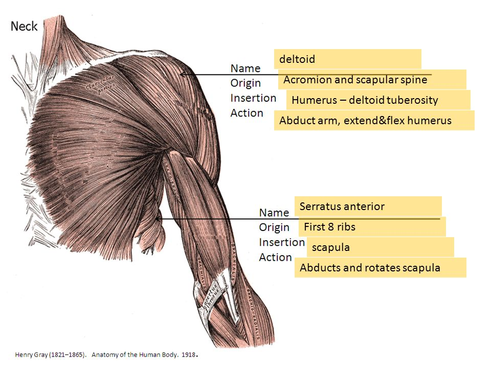 Muscle Quiz 3 = Upper Arm, back and chest. - ppt download