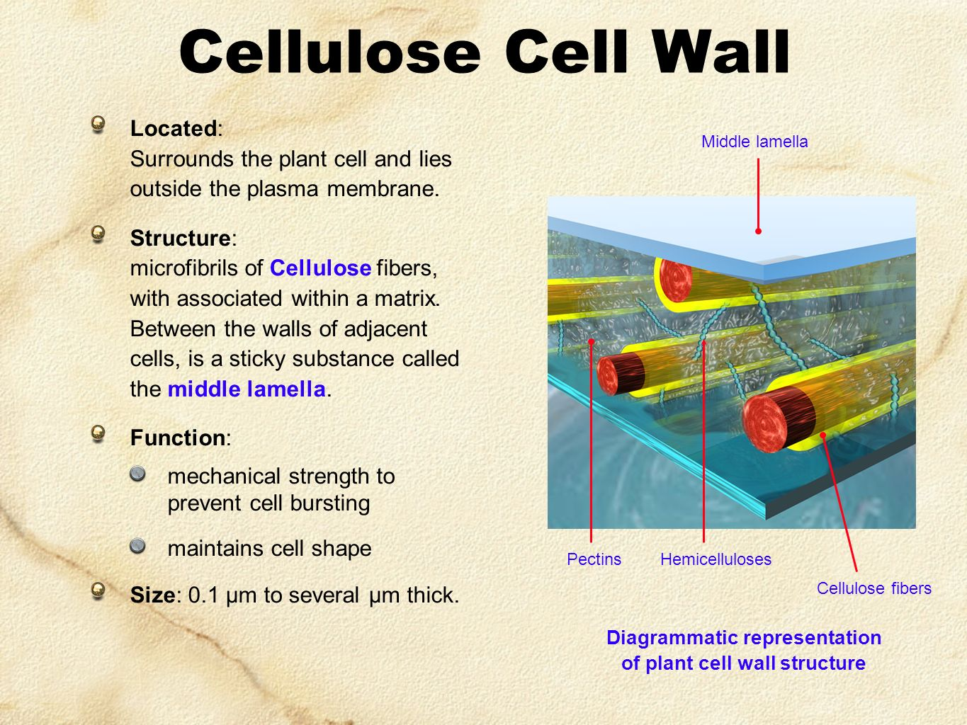 Simple Plant Cell Wall Diagram Filesimple Of For Kids Download