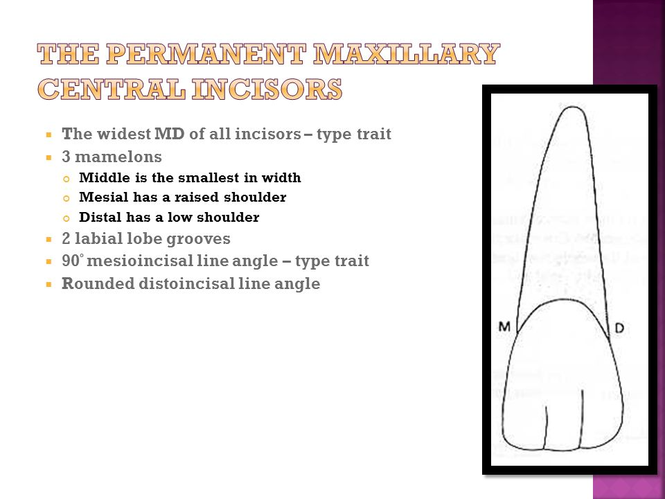 MORPHOLOGY OF maxillary PERMANENT INCISORS - ppt video online download