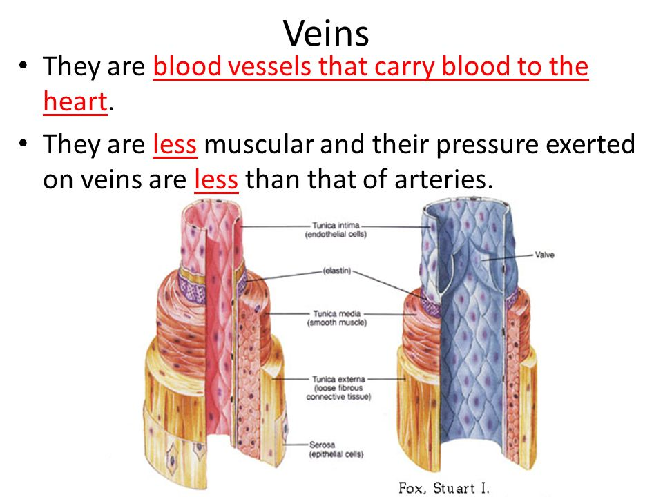 Veins They are blood vessels that carry blood to the heart.