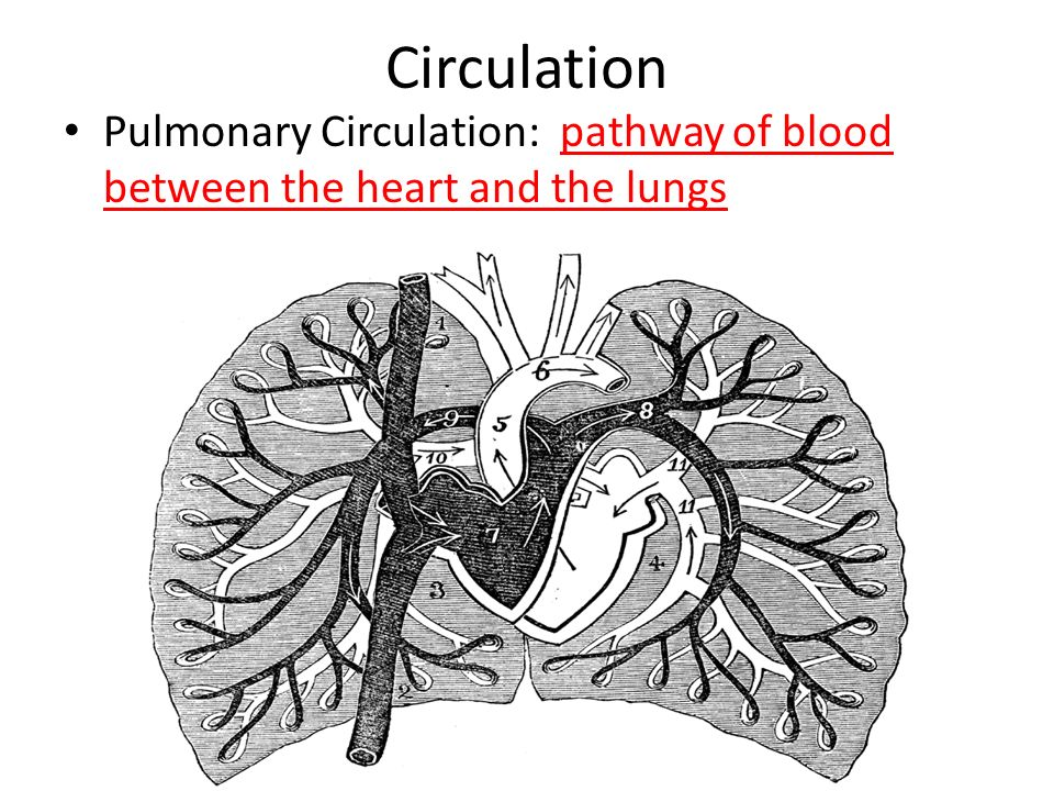 Circulation Pulmonary Circulation: pathway of blood between the heart and the lungs
