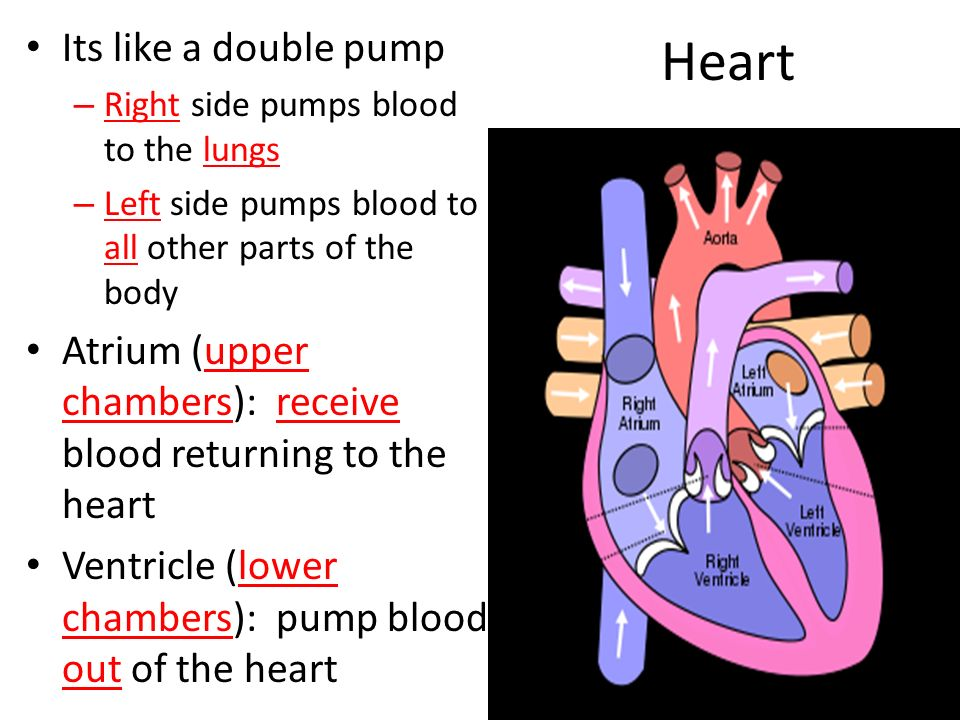 Heart Its like a double pump