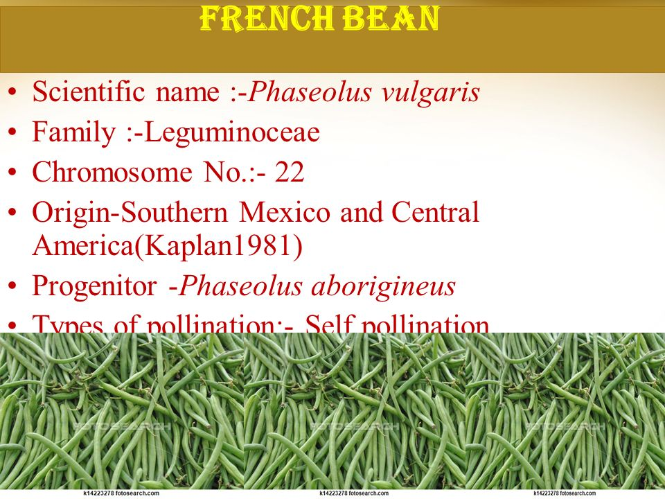 FRENCH BEAN Scientific name :-Phaseolus vulgaris Family :-Leguminoceae