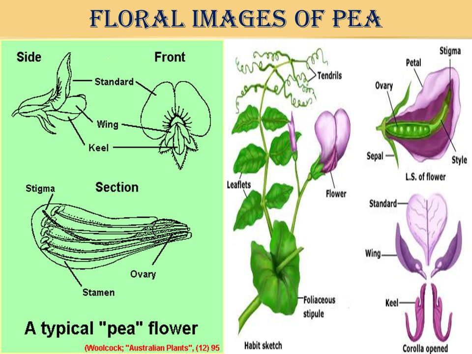 FLORAL IMAGES OF PEA