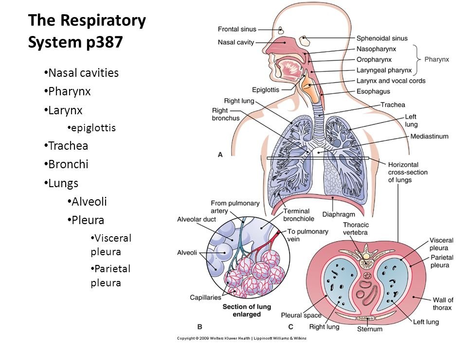 Chap 18 The Respiratory System Ppt Video Online Download