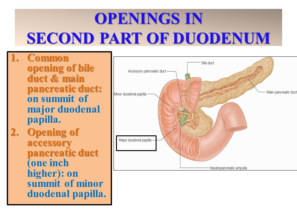 Anatomy Of The Small Intestine Ppt Video Online Download