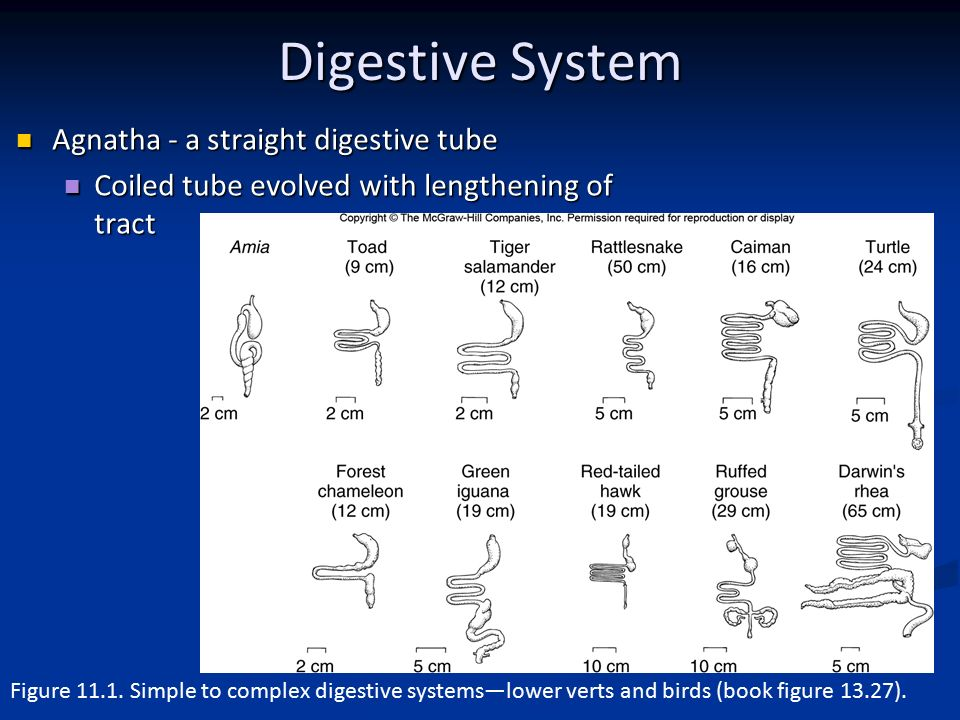Comparative Anatomy Digestive System - ppt video online download