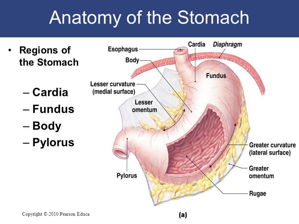 Digestive system Histology - ppt video online download
