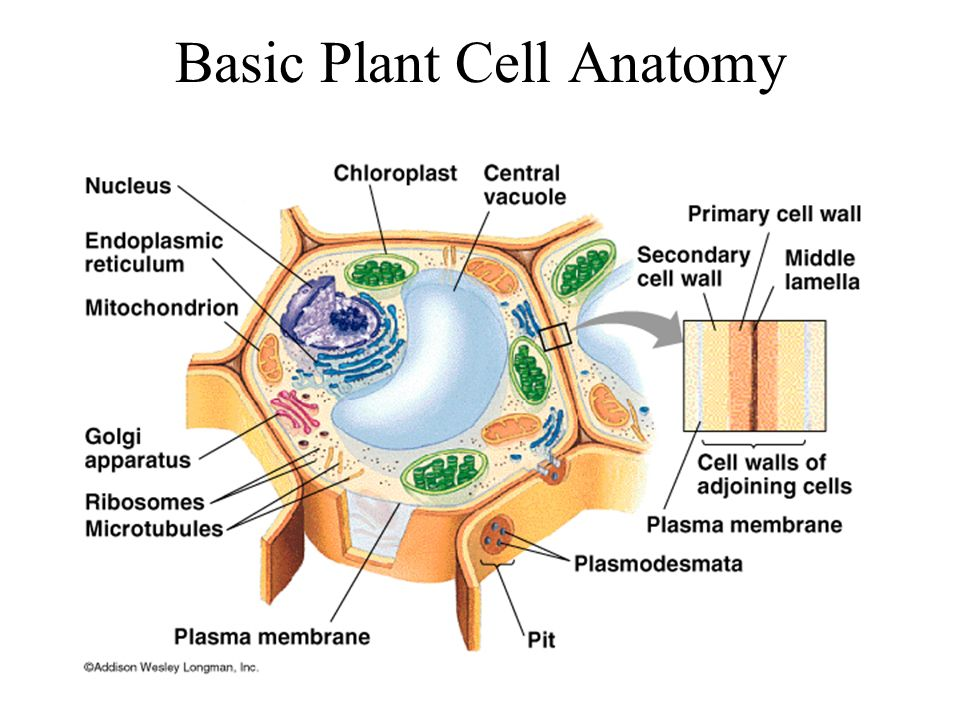 Angiosperms flowering plants ppt video online download 13 basic plant cell anatomy ccuart Gallery
