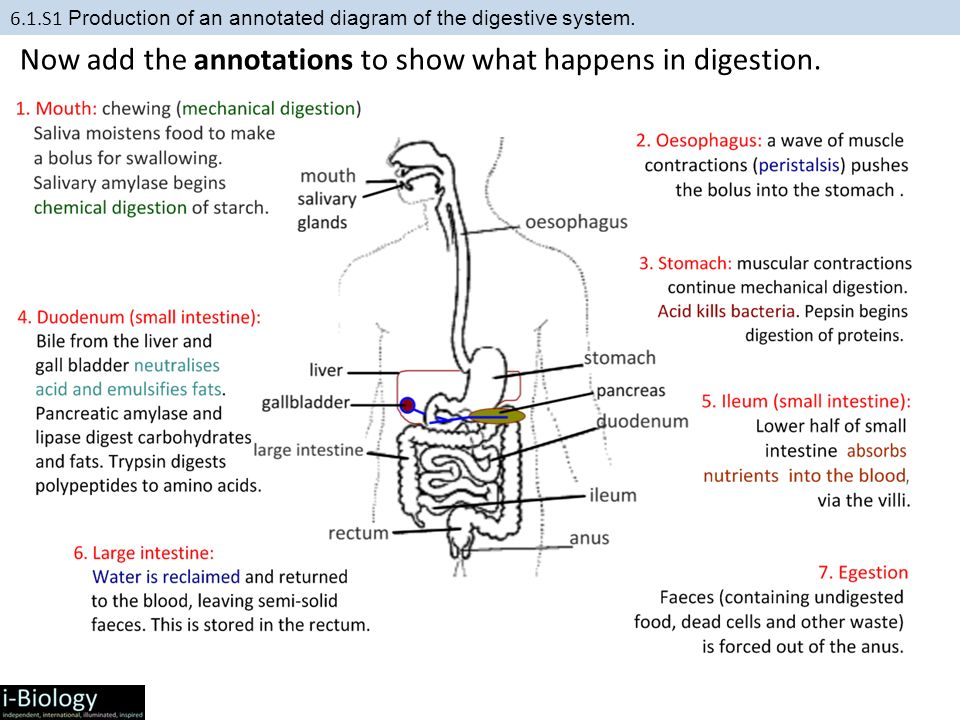 61 digestion and absorption ppt video online download now add the annotations to show what happens in digestion ccuart Image collections