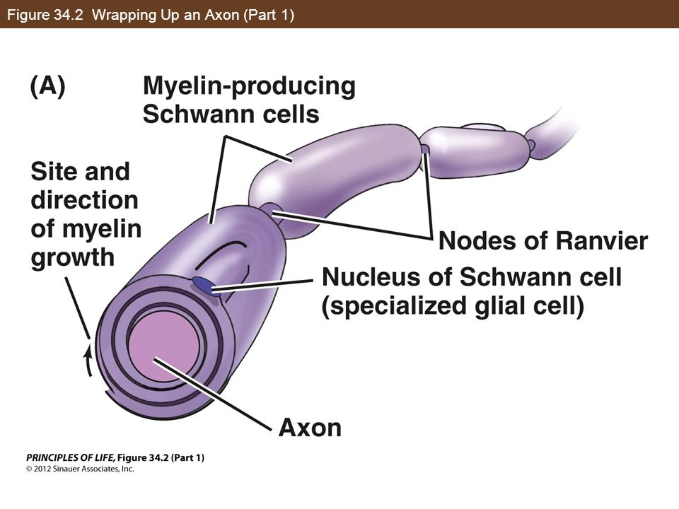 Figure 34.2 Wrapping Up an Axon (Part 1)