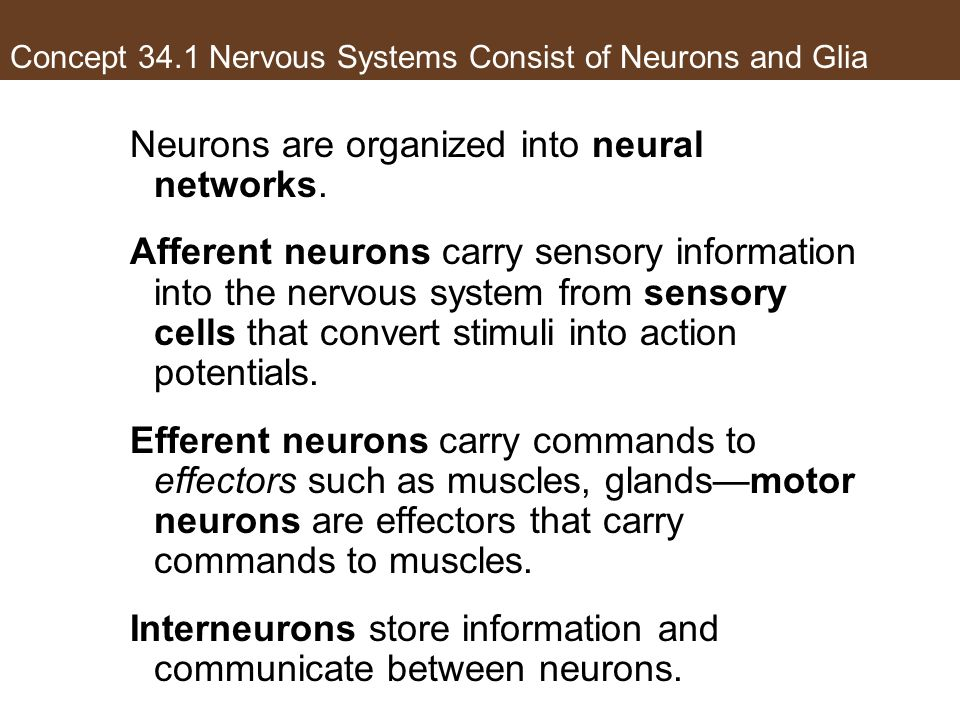 Concept 34.1 Nervous Systems Consist of Neurons and Glia