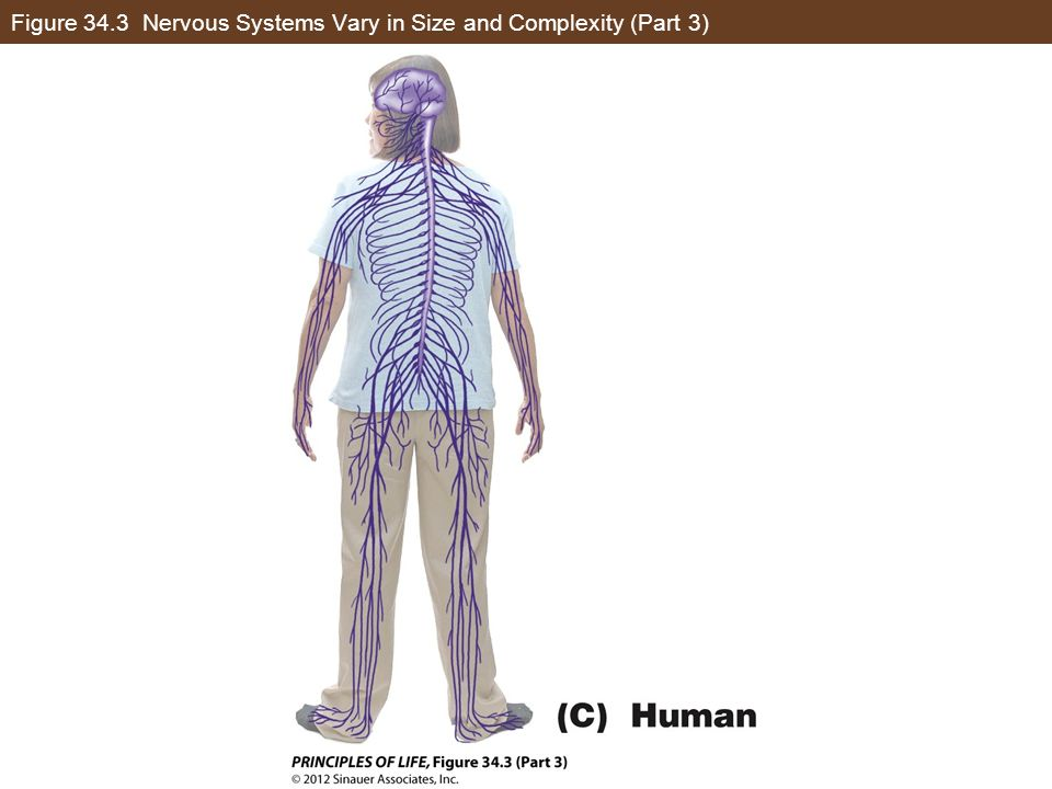 Figure 34.3 Nervous Systems Vary in Size and Complexity (Part 3)