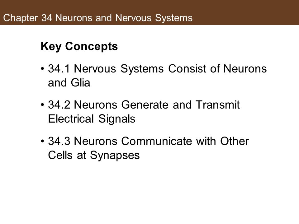 Chapter 34 Neurons and Nervous Systems