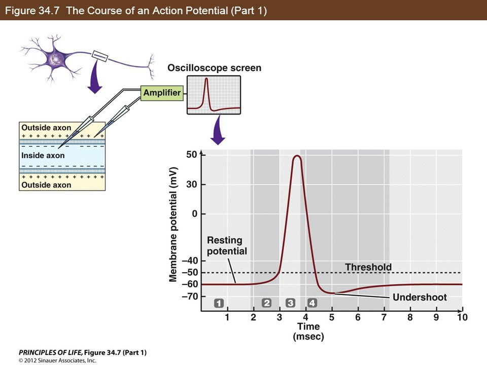 Figure 34.7 The Course of an Action Potential (Part 1)