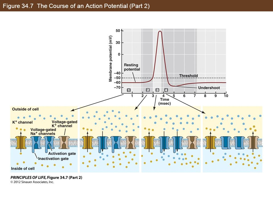 Figure 34.7 The Course of an Action Potential (Part 2)