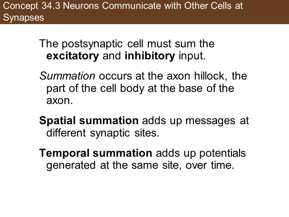 Concept 34.3 Neurons Communicate with Other Cells at Synapses