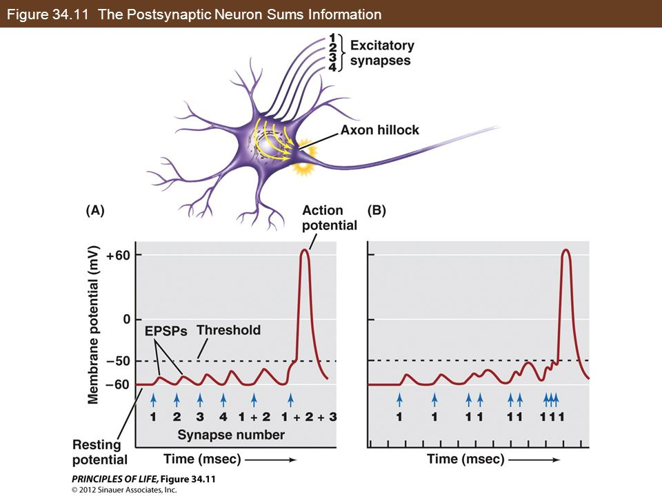 Figure 34.11 The Postsynaptic Neuron Sums Information