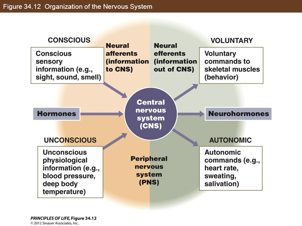 Figure 34.12 Organization of the Nervous System