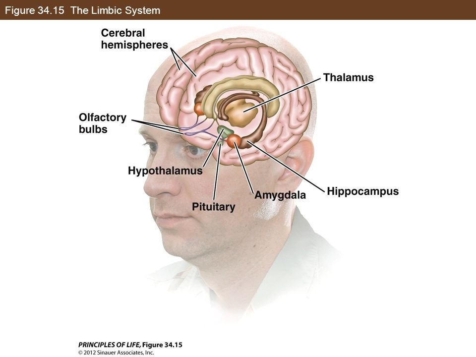 Figure 34.15 The Limbic System