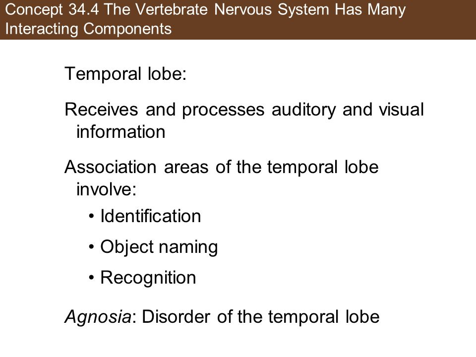 Receives and processes auditory and visual information