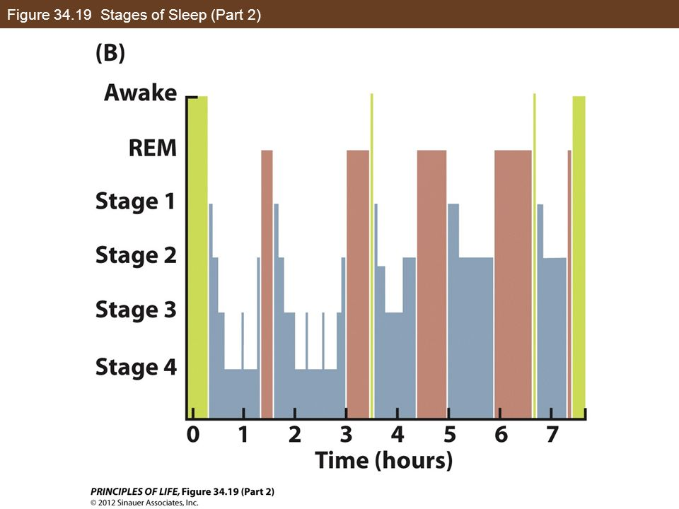 Figure 34.19 Stages of Sleep (Part 2)