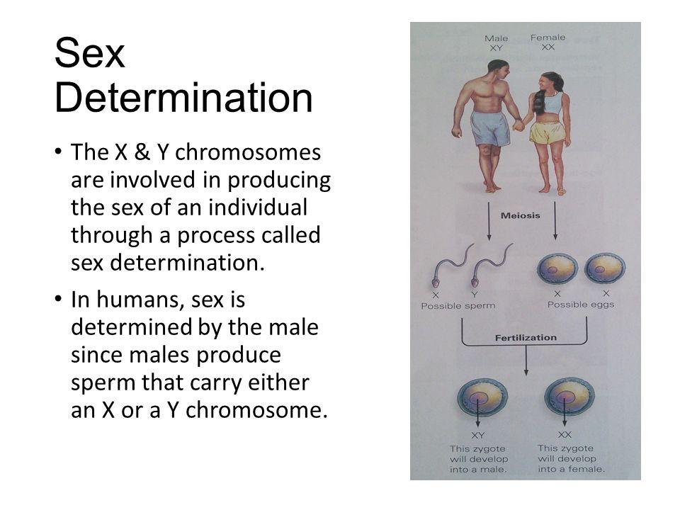 determining-chromosomes-in-sperm