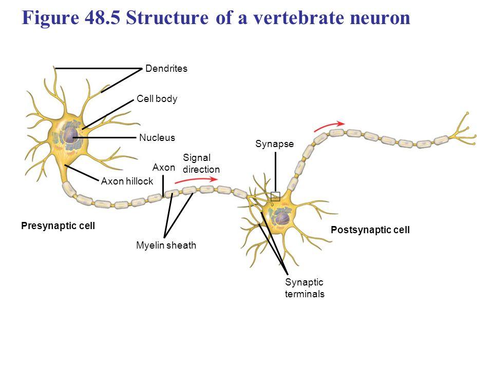 A Diagram Of Vertebrate Neuron Electrical Work Wiring Diagram
