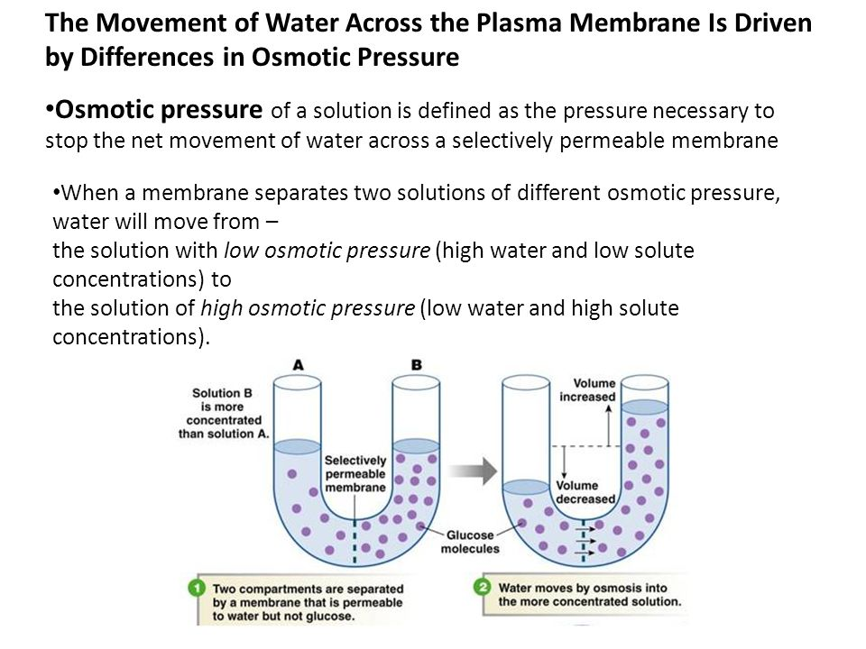 osmotic pressure report Osmotic pressure report topics: cell wall, osmosis, cell biology pages: 5 (1163 words) introduction osmosis is a passive movement of water molecules going across the partially.