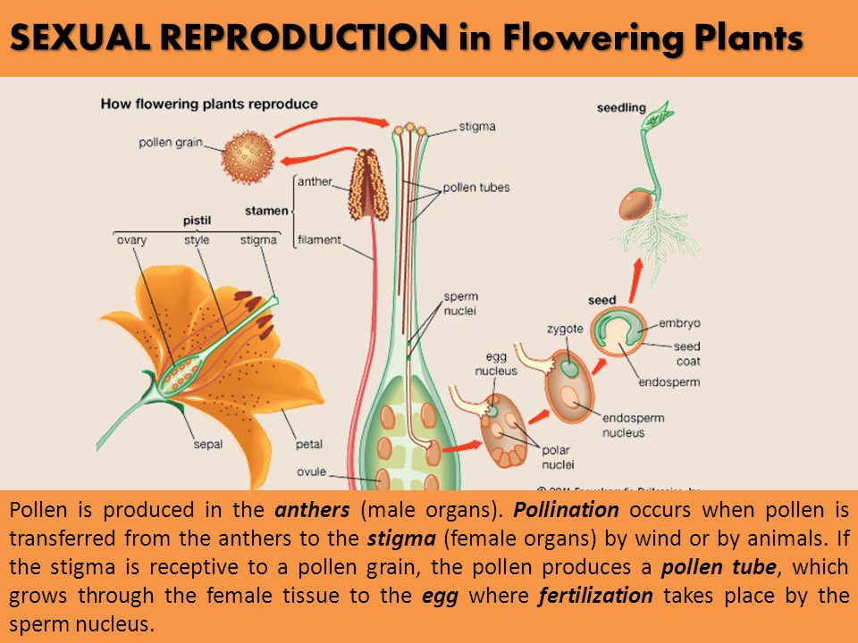 Sexual reproduction process in plants